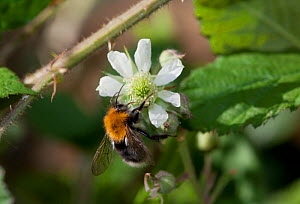 Tree Bumblebee (Bombus hypnorum) on Bramble (Rubus fruticosus) flower. This species was first recorded in Britain in 2001. Sussex, UK, May. - Stephen Dalton