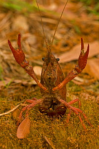 Red Louisiana Swamp Crawfish / Crayfish (Procambarus clarkii) with its claws up in a defensive display. Important commercial food item, native to Southeastern US. Louisiana, USA, April.  -  John Cancalosi