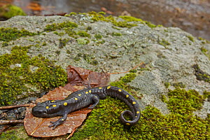 Spotted Salamander (Ambystoma maculatum) near ponds where they breed in spring. New York, USA, April.  -  John Cancalosi
