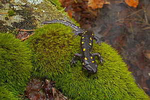 Spotted Salamander (Ambystoma maculatum) on moss near ponds where they breed in spring. New York, USA, April.  -  John Cancalosi