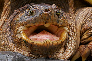 Portrait of a male Snapping Turtle (Chelydra serpentina) New York, USA, May.  -  John Cancalosi