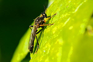 Common Red-legged Robber Fly (Dioctria rufipes) sun basking on a leaf. Wiltshire garden, UK, May.  -  Nick Upton