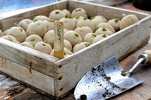 Seed potatoes, Swift variety (Solanum tuberosum) in wooden tray, ready for planting. Norfolk, UK, March.  -  Gary K. Smith