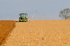 Flock of Gulls (Larus argentatus) following a ploughing tractor. Norfolk, UK, March.  -  Gary K. Smith