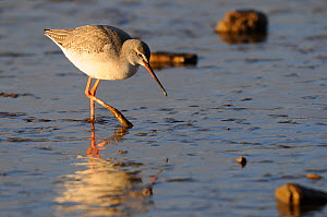 Spotted Redshank (Tringa erythropus) in winter plumage on saltmarsh. Norfolk, England, February. - Gary K. Smith