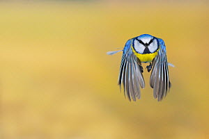 Blue Tit (Parus caeruleus) adult in flight. Zug, Switzerland, Europe, February.  -  Stefan Huwiler