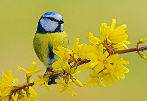 Blue Tit (Parus caeruleus) adult perched on a blooming Forsythia (Forsythia intermedia). Zug, Switzerland, Europe, March.  -  Stefan Huwiler