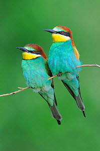 European Bee-eater (Merops apiaster) perched. Hungary, Europe, May.  -  Stefan Huwiler