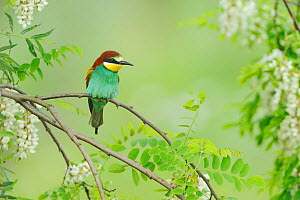European Bee-eater (Merops apiaster) adult. Hungary, Europe, May.  -  Stefan Huwiler