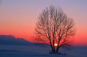 Linden tree (Tilia sp.) with bare branches at sunset. Switzerland, Europe.  -  Stefan Huwiler