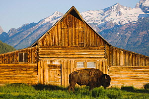 American Bison / Buffalo (Bison bison) adult in front of old wooden barn and Grand Teton range. Antelope Flats, Grand Teton National Park, Wyoming, USA, June.  -  B&S Draker