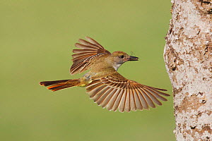 Brown-crested Flycatcher (Myiarchus tyrannulus) adult in flight with prey. Sinton, Corpus Christi, Coastal Bend, Texas, USA, June.  -  B&S Draker
