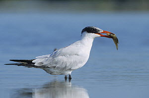 Caspian Tern (Hydroprogne caspia) immature standing in shallow water with fish in its beak. Sinton, Coastal Bend, Texas, USA.  -  B&S Draker