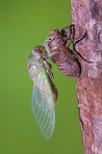 Cicada (Tibicen resh) adult emerging from nymph carapace. Sinton, Corpus Christi, Coastal Bend, Texas, USA, June. Sequence 10 of 10. - B&S Draker