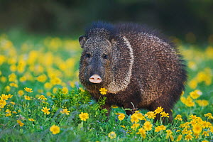 Collared Peccary (Tayassu tajacu) adult in field of Huisache Daisy (Amblyolepis setigera). Sinton, Corpus Christi, Coastal Bend, Texas, USA, March. - B&S Draker