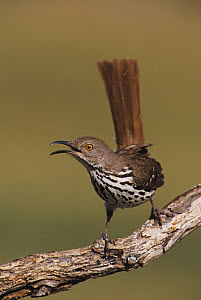 Long-billed Thrasher (Toxostoma longirostre) adult singing. Starr County, Rio Grande Valley, Texas, USA.  -  B&S Draker
