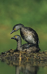 Least Grebe (Tachybaptus dominicus) pair mating on nest. Starr County, Rio Grande Valley, Texas, USA. - B&S Draker