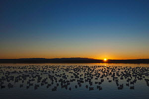 Snow Goose (Chen caerulescens) flock on water at sunrise. Bosque del Apache National Wildlife Refuge, New Mexico, USA, January.  -  B&S Draker