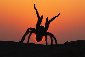 Texas Brown Tarantula (Aphonopelma hentzi) adult at sunset in defense posture. Sinton, Corpus Christi, Coastal Bend, Texas, USA, May. - B&S Draker