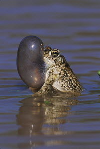 Texas Toad (Bufo speciosus) male with calling / vocal sac inflated. Starr County, Rio Grande Valley, Texas, USA.  -  B&S Draker
