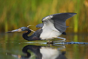 Tricolored Heron (Egretta tricolor) stalking fish in shallow water. Sinton, Corpus Christi, Coastal Bend, Texas, USA, May.  -  B&S Draker