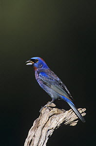 Varied Bunting (Passerina versicolor) adult singing. Starr County, Rio Grande Valley, Texas, USA.  -  B&S Draker