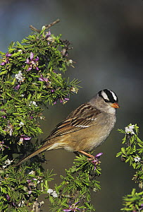 White-crowned Sparrow (Zonotrichia leucophrys) adult on blooming Guayacan (Guaiacum angustifolium). Starr County, Rio Grande Valley, Texas, USA.  -  B&S Draker