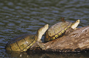 Yellow Mud Turtle (Kinosternon flavescens) adults sunning on log, one with a dragonfly perched on its shell. Starr County, Rio Grande Valley, Texas, USA.  -  B&S Draker