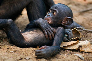 Bonobo (Pan paniscus) male baby aged 10 months with his mother 'Nioki', lying on his mother's foot 'sucking his thumb', Lola Ya Bonobo Sanctuary, Democratic Republic of Congo. October.  -  Fiona Rogers