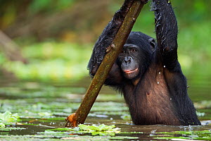 Bonobo (Pan paniscus) adolescent male wading through water supported by a branch, Lola Ya Bonobo Sanctuary, Democratic Republic of Congo. October.  -  Fiona Rogers