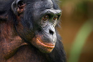 Bonobo (Pan paniscus) mature male 'Manono' aged 17 years, head portrait, Lola Ya Bonobo Sanctuary, Democratic Republic of Congo. October. - Fiona Rogers
