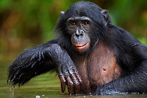 Bonobo (Pan paniscus) adolescent male wading through water, Lola Ya Bonobo Sanctuary, Democratic Republic of Congo. October. - Fiona Rogers