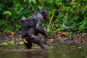 Bonobo (Pan paniscus) female wading across a stretch of water carrying her baby aged 12-14 months on her back (Pan paniscus). Lola Ya Bonobo Sanctuary, Democratic Republic of Congo. October.  -  Fiona Rogers