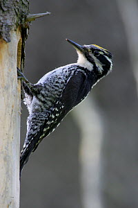 Three-toed Woodpecker (Picoides tridactylus) by its nest hole. Bieszczady National Park, the Carpathians, Poland, June. - Grzegorz Lesniewski
