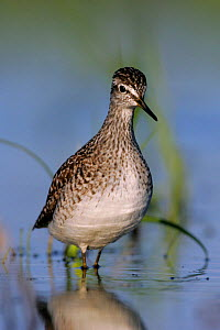 Portrait of a Wood Sandpiper (Tringa glareola) in water. Biebrza National Park, Biebrza marshes, Poland, May.  -  Grzegorz Lesniewski
