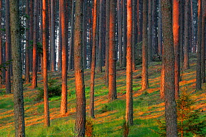 Pine (Pinus silvestris) forest lit by dawn light. Masuria, Poland, May.  -  Grzegorz Lesniewski