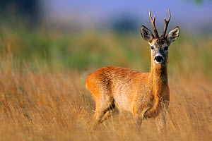 Portrait of a Roe Deer (Capreolus capreolus). Marshes at Baltic Coast, Poland, August.  -  Grzegorz Lesniewski