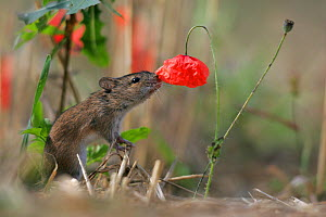 Striped Field Mouse (Apodemus agrarius) and Corn Poppy (Papaver rhoeas). Lublin Highland, Poland, August. - Grzegorz Lesniewski