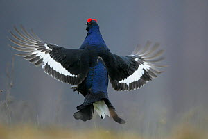 Black Grouse (Tetrao tetrix) displaying. Biebrza National Park, Biebrza marshes, Poland, April.  -  Grzegorz Lesniewski