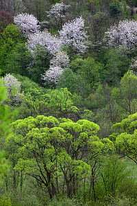 Riparian forest with Crack Willow (Salix fragilis), White Willow (Salix alba) and blooming Wild Cherry (Prunus avium). Bieszczady Mountains, the Carpathians, Poland, May.  -  Grzegorz Lesniewski
