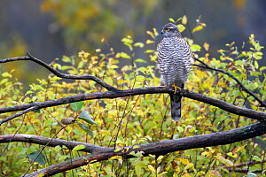 Sparrowhawk (Accipiter nisus) perched. Bieszczady Mountains, the Carpathians, Poland, October.  -  Grzegorz Lesniewski
