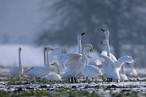 Whooper Swans (Cygnus cygnus) in courtship display on meadows. Odra River, Silesia, Poland, January.  -  Grzegorz Lesniewski
