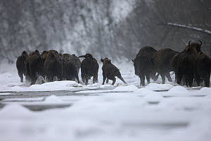 Wisent / European Bison (Bison bonasus) crossing the Sun River. Bieszczady Mountains, the Carpathians, Bieszczady National Park, Poland, February. - Grzegorz Lesniewski