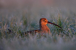 Eurasian Curlew (Numenius arquata) in wet grass lit by dawn light. Biebrza National Park, Biebrza marshes, Poland, May.  -  Grzegorz Lesniewski
