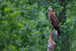 Honey Buzzard (Pernis apivorus) perched. Bieszczady National Park, the Carpathians, Poland, June. - Grzegorz Lesniewski