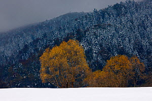 Crack Willow (Salix fragilis) and autumn snowfall. Bieszczady National Park, the Carpathians, Poland, October 2009.  -  Grzegorz Lesniewski