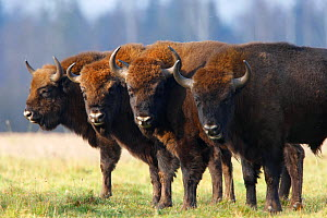 Four Wisent / Bison (Bison bonasus) standing in a row. Bialowieza Forest, Bialowieza National Park, Poland, November.  -  Grzegorz Lesniewski