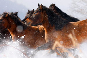 Herd of Carpathian Pony / Hucul (Equus caballus) in snow. Bieszczady National Park, the Carpathians, Poland, March.  -  Grzegorz Lesniewski