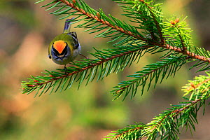 Firecrest (Regulus ignicapilla) perched on fir branch. Bieszczady National Park, the Carpathians, Poland, April.  -  Grzegorz Lesniewski