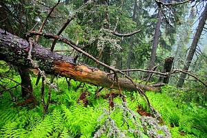 Fallen tree in primeval Spruce Forest (Picea abies). Tatra Mountains National Park, the Carpathians, Poland, June 2011.  -  Grzegorz Lesniewski